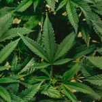 4 Things Every Person Should Know About Medical Marijuana