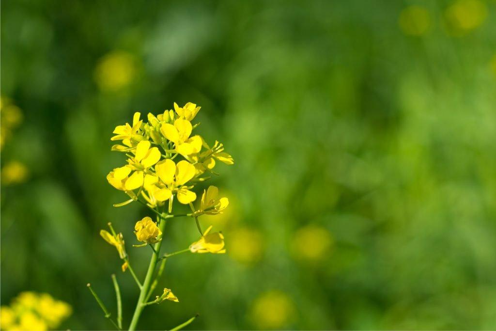 mustard oil for gray hair