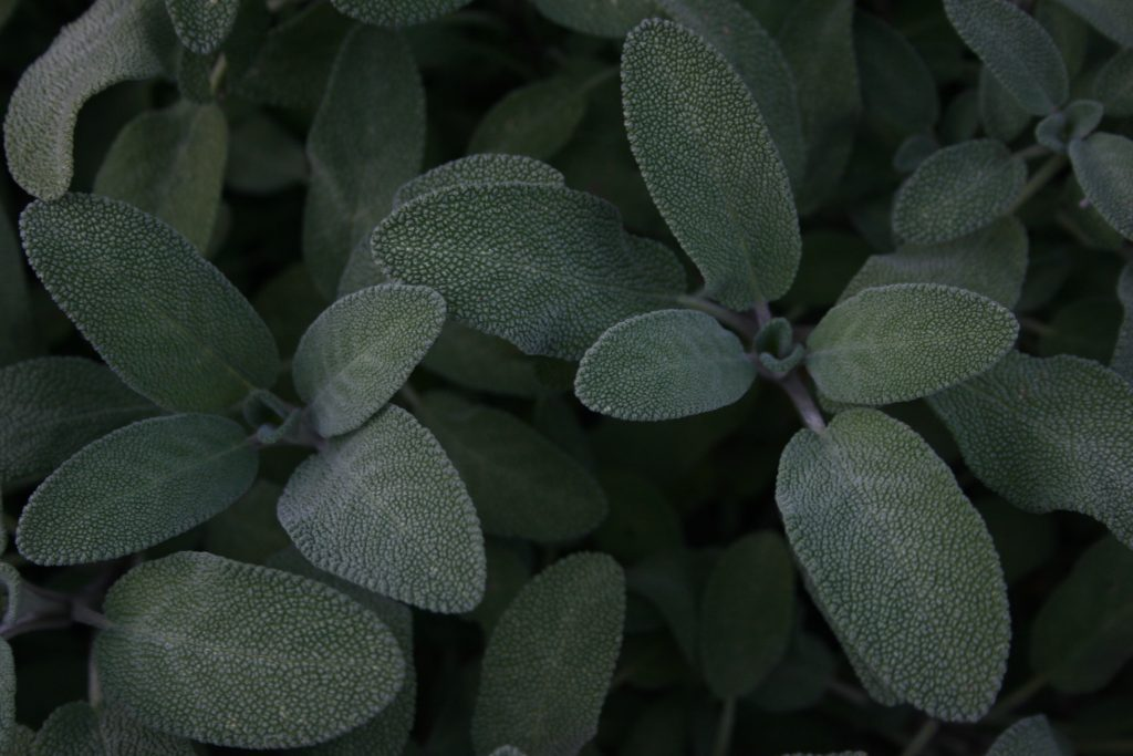 sage oil for gray hair